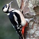 The Great Spotted Woodpecker, an increasingly regular visitor to gardens