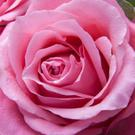 Roses come in a rich variety of types and colours