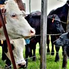 Mixed practice vets have to deal with both farm animals and pets