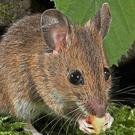 A wood mouse.