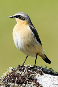 The Wheatear is a small member of the large thrush family