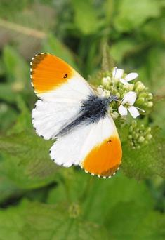 The emergence of the Orange Tip butterfly is one of the signs that spring is well underway