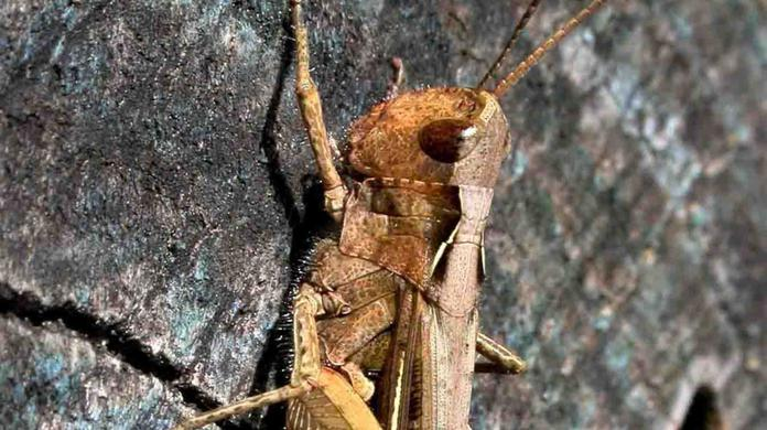 Grasshoppers' chirping sound a mating call - Independent ie
