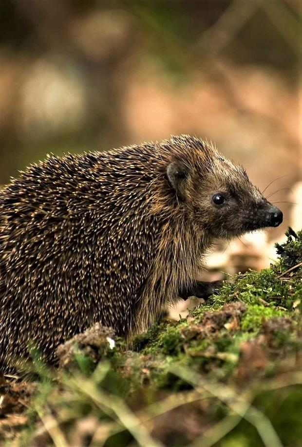 Hedgehogs are common and widespread animals.