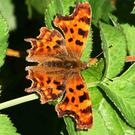 The Comma is a recent addition to the butterfly fauna of Ireland
