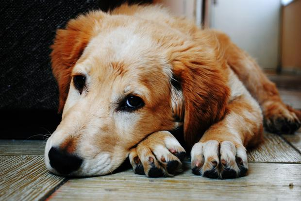 Seizures (fits) are commonly seen in dogs of all ages