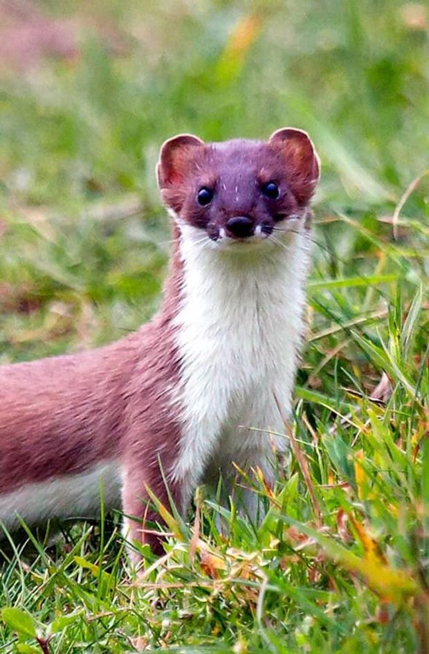 Stoats are known to be highly territorial, so it would be unusual for them to gather in a group and tolerate each other's presence