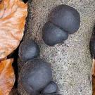 King Alfred's Cakes are common black mushrooms found growing off fallen Ash branches