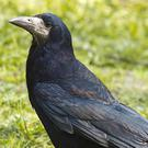 Rooks are distinguished from other members of the crow family by the bare skin at the base of the bill and in front of the eyes.