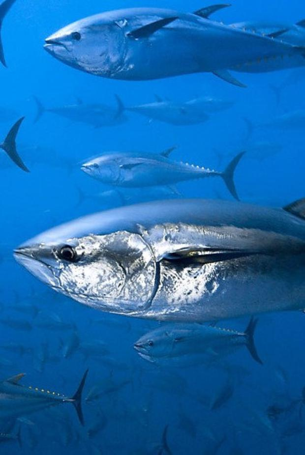 The Atlantic Bluefin Tuna is a highly-prized food fish