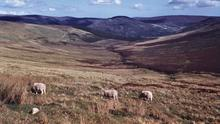 Sheep roaming the lush mountains of Aughavannagh, photographed by Richard Tilbrook in 1963.