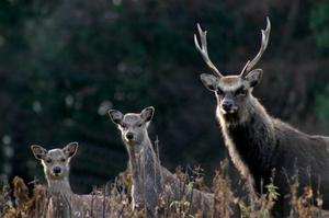 Sika deer photographed in Co. Wicklow  Photo: Tim Thornton