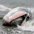 Dead Minke whale washes up on Shankill Beach at the end of Quinns Road