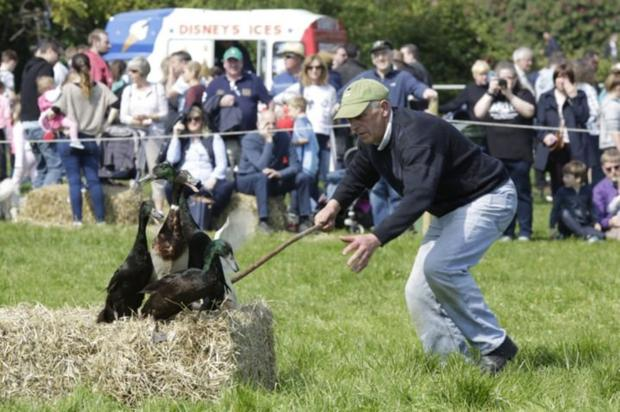 Donie Anderson gives his dog a hand in the duck herding at last year's Ashford Country Fair