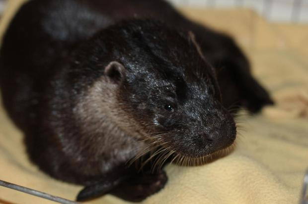 The injured otter was found on the road near the Meeting of the Waters.