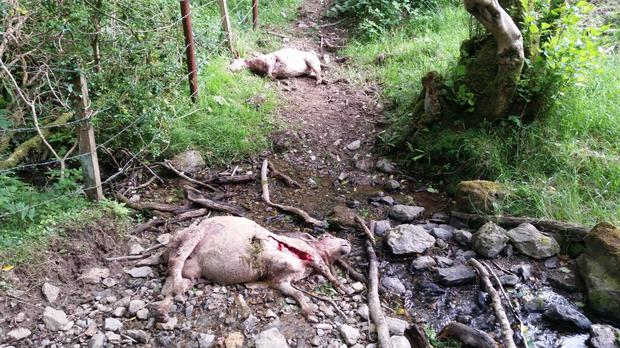 Two of the sheep killed by the dogs at Jack Cahill's farm