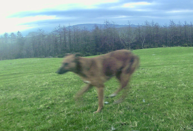 A large tawny coloured lurcher mix dog remains at large
