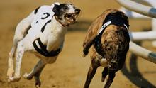 Only four greyhounds have managed to successfully defend the English Derby and Jaytee Jet tonight takes the first steps towards a defence of his title when he makes his seasonal debut in the first round of the Best Car Parks Gold Cup at Shelbourne. (stock photo)