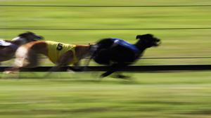 'The Pat Buckley trained Braveheart Bobby will be the solitary Irish finalist in the Scottish Derby at Shawfield on Saturday. ' (stock photo)