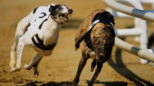The richest puppy race in the world takes place at Limerick on Saturday evening