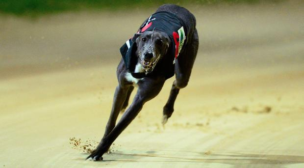 The ante-post favourite Clares Rocket won't swing into action until Saturday's penultimate heat when he will face his useful kennel companion Sonic among others.