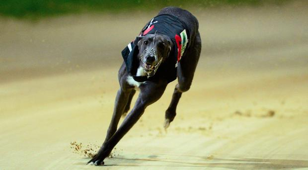 The shocks continued in the BoyleSports Irish Derby when the third round was staged at Shelbourne Park on Saturday and the new favourite Laughil Duke made his exit from the classic after a troublesome passage in Heat 6. Stock photo