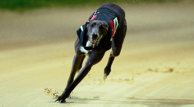 It will be a five-dog race due to the withdrawal of Willie Coyle's Toss The Coin but any one of the remaining five is capable of going all the way. Stock photo