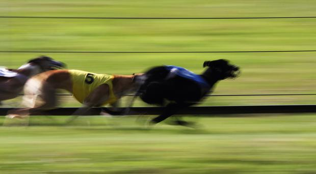 There will be four Irish-trained dogs in action in the semi-finals of the RPGTV Scottish Derby at Shawfield this evening. (Stock photo)