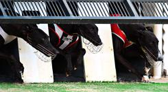 Currently, there is no legislation prohibiting the exports of greyhounds. Stock image