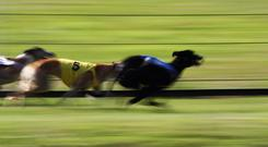 'Last time out Jaytee Jet got up late to beat the English tracker Bubbly Bluebird in the Dundalk International and a trap six draw will see him the one to beat in Heat 15.' Stock image