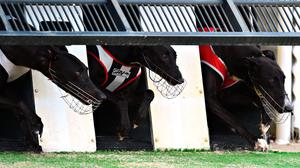 It is 21 years since the Gold Cup was introduced to the Irish greyhound calendar and it has been firmly established as one of the true major events of the year. (stock photo)