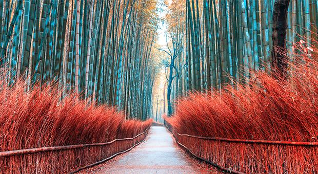 Bamboo Forest at Kyoto, Japan.