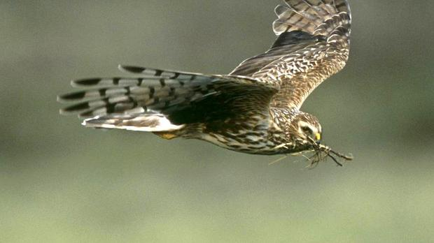 The charismatic hen harrier