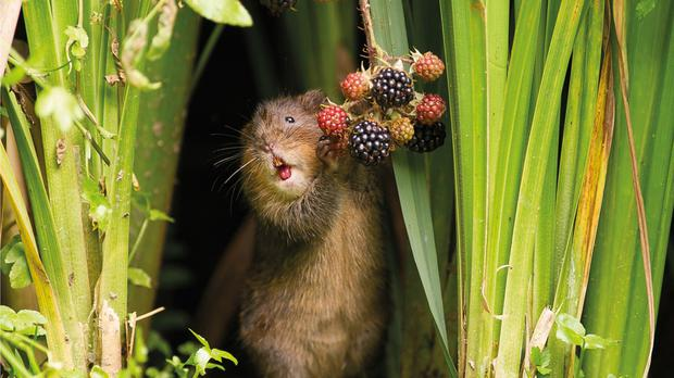 A photo taken by Dean Mason of a water vole snacking on berries which Countryfile viewers picked as the winner of the show's annual photography competition