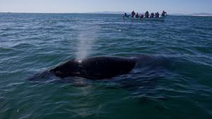 A grey whale calf expels air through its blowhole as a boat filled with visitors watches in the San Ignacio lagoon on Mexico's Baja peninsula (AP)