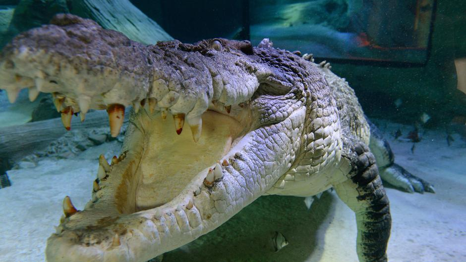 Crocodile. Stock image