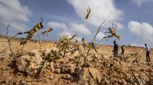 Young desert locusts that have not yet grown wings jump in the air in the desert near Garowe, in the semi-autonomous Puntland region of Somalia (Ben Curtis/AP)