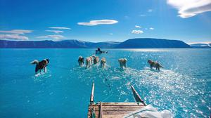 'Extreme event': Sled dogs appearing to walk on water as they wade through partially melted sea ice in north-west Greenland. Photo: Steffen Olsen