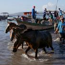Rescued: Horses are guided ashore by their owners near the Taal Volcano. Picture: Reuters/Eloisa Lopez