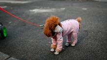 Behind the mask: there is no evidence that pets such as dogs or cats can be infected with the new coronavirus
