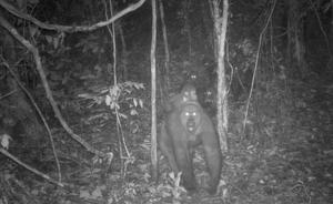 This photo taken by a camera trap shows a group of Cross River gorillas in the Mbe Mountains of Nigeria on Wednesday, May 27, 2020. Conservationists have captured the first images of a group of rare Cross River gorillas with multiple babies in the Mbe mountains of Nigeria, proof that the subspecies once feared to be extinct is reproducing amid protection efforts. (WCS Nigeria via AP)