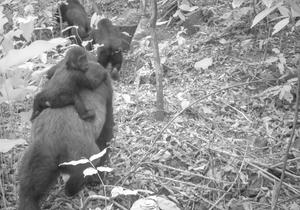 This photo taken by a camera trap shows an adult female Cross River gorilla with an infant on her back in the Mbe Mountains of Nigeria on Thursday, Jan. 30, 2020. Conservationists have captured the first images of a group of rare Cross River gorillas with multiple babies in the Mbe mountains of Nigeria, proof that the subspecies once feared to be extinct is reproducing amid protection efforts. (WCS Nigeria via AP)