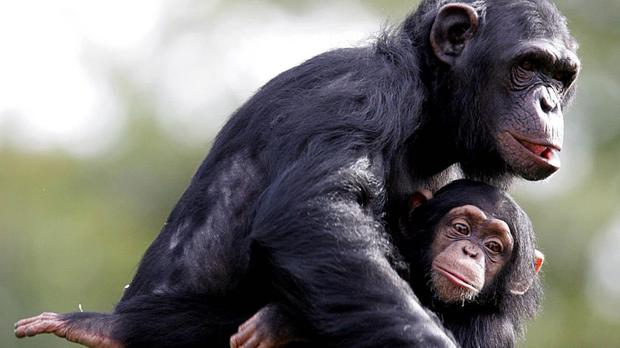 Chimpanzees are considered to be the closest living relatives of humans