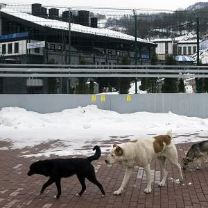 Stray dogs sit outside the Rosa Khutor Extreme Park course, a venue for the snowboarding and freestyle competitions of the 2014 Winter Olympics (AP Photo/Pavel Golovkin)
