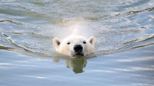 Environmentalists say the project could put polar bears at risk.