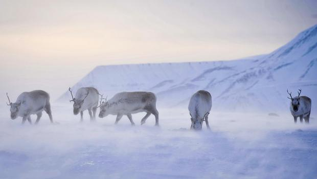 Wild reindeer forage for food on the island of Spitsbergen on the Norway's Svalbard archipelago in the Arctic circle (Ben Birchall/PA)