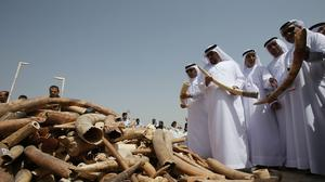 United Arab Emirates officials examine confiscated elephant tusks before they are crushed, to send a message against poaching, in Dubai, while in Africa two presidents burned five tons of ivory (AP Photo/Kamran Jebreili)