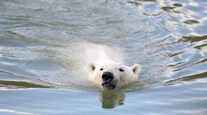 Polar bears are under threat due to global warming