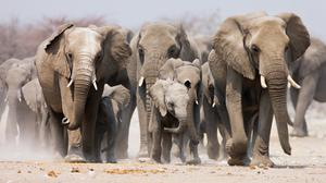 The number of African forest elephants has fallen by more than 86pc over a 31-year period, while the population of savanna elephants dropped by more than 60pc over a 50-year period