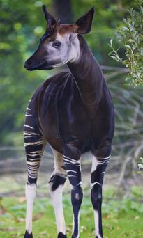 One of a pair of okapis at Dublin Zoo. The species is now endangered